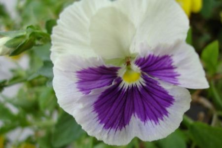 Proverbs 11:30 Purple and White Pansy